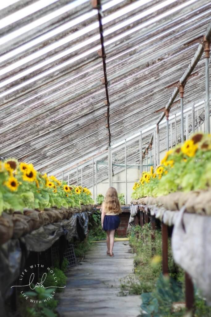 Sunflowers in Conservatory - Harewood House - Seeds of Hope Exhibition - Life with Holly Blog