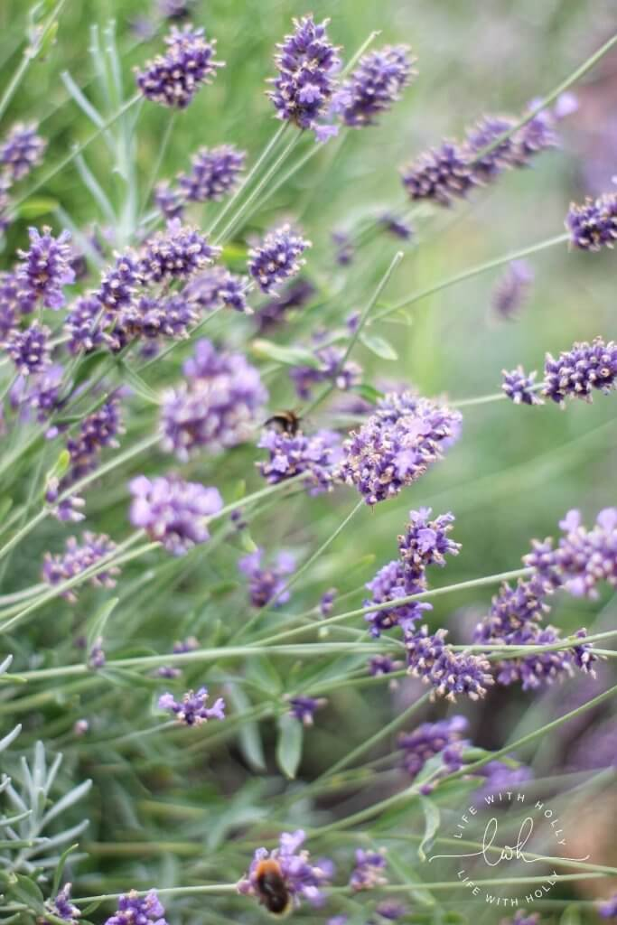 Fading Lavender - Life with Holly Blog