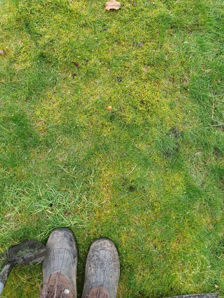 Moss in Lawn - North-East-Facing-Garden-New-Flower-Bed-Plants-for-Shade-by-Life-with-Holly