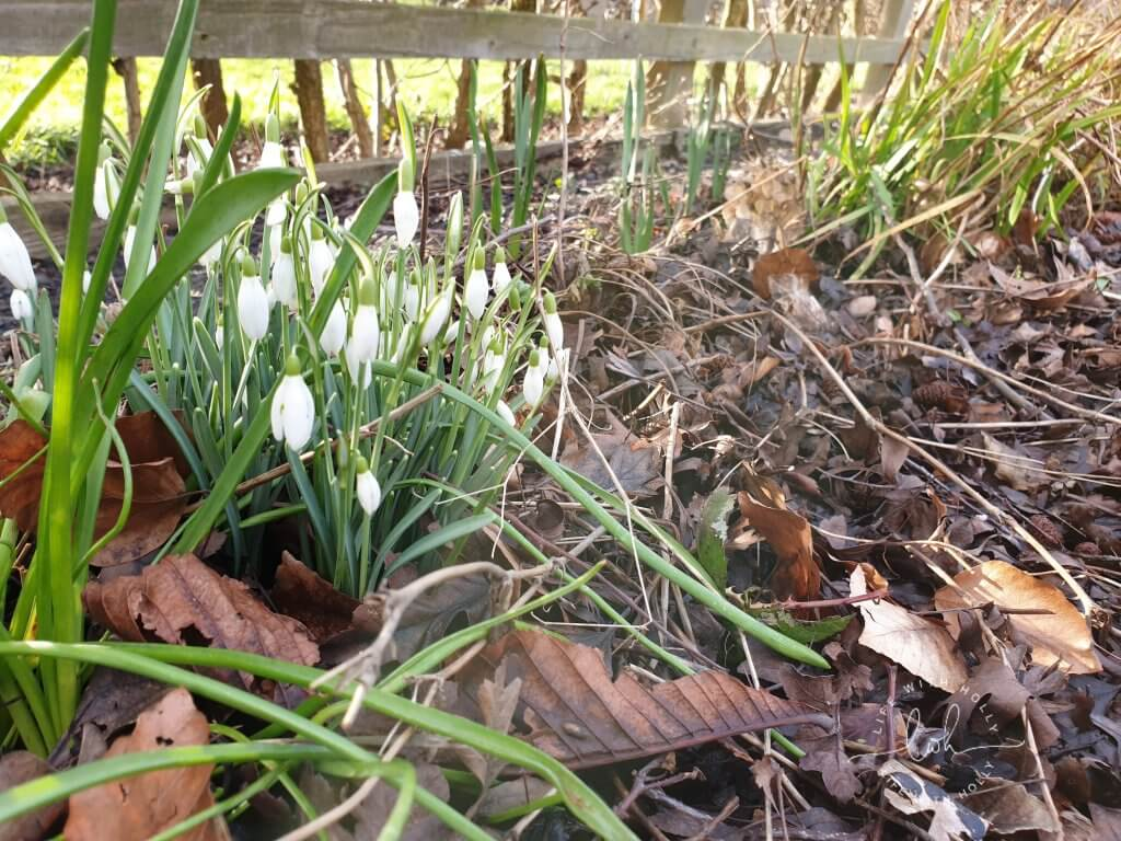 Snowdrops North-East-Facing-Garden-New-Flower-Bed-Plants-for-Shade-by-Life-with-Holly